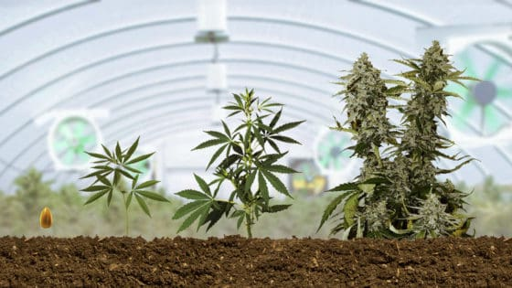 Autoflower Grow Guide: How to grow Big Buds at Home
